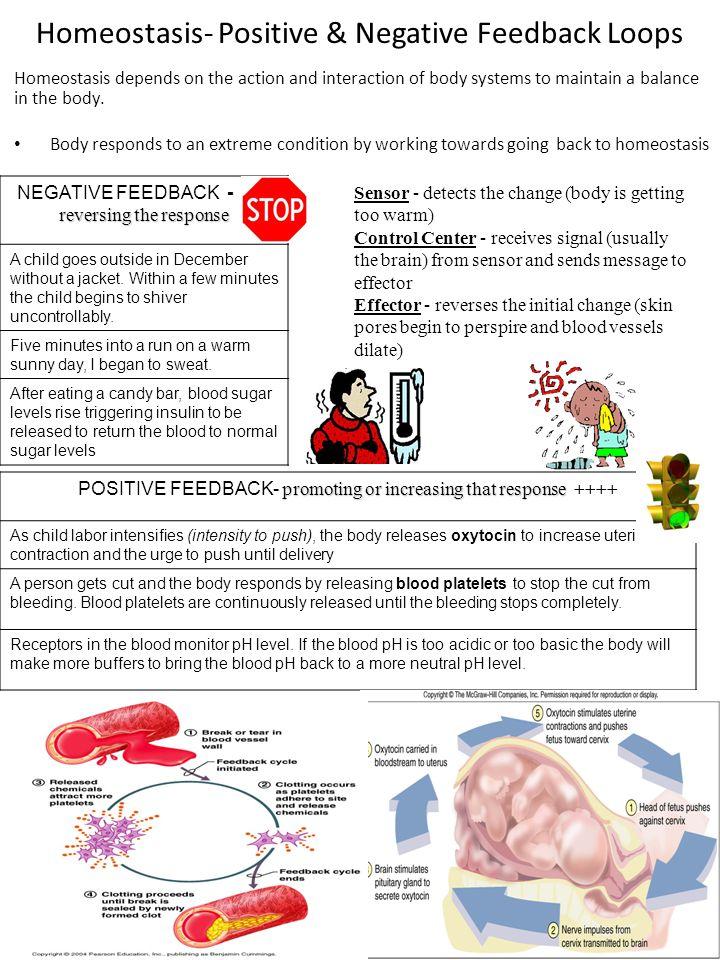 Homeostasis- Positive & Negative Feedback Loops