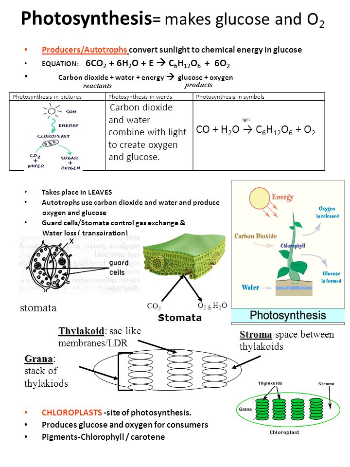 Photosynthesis= makes glucose and O2