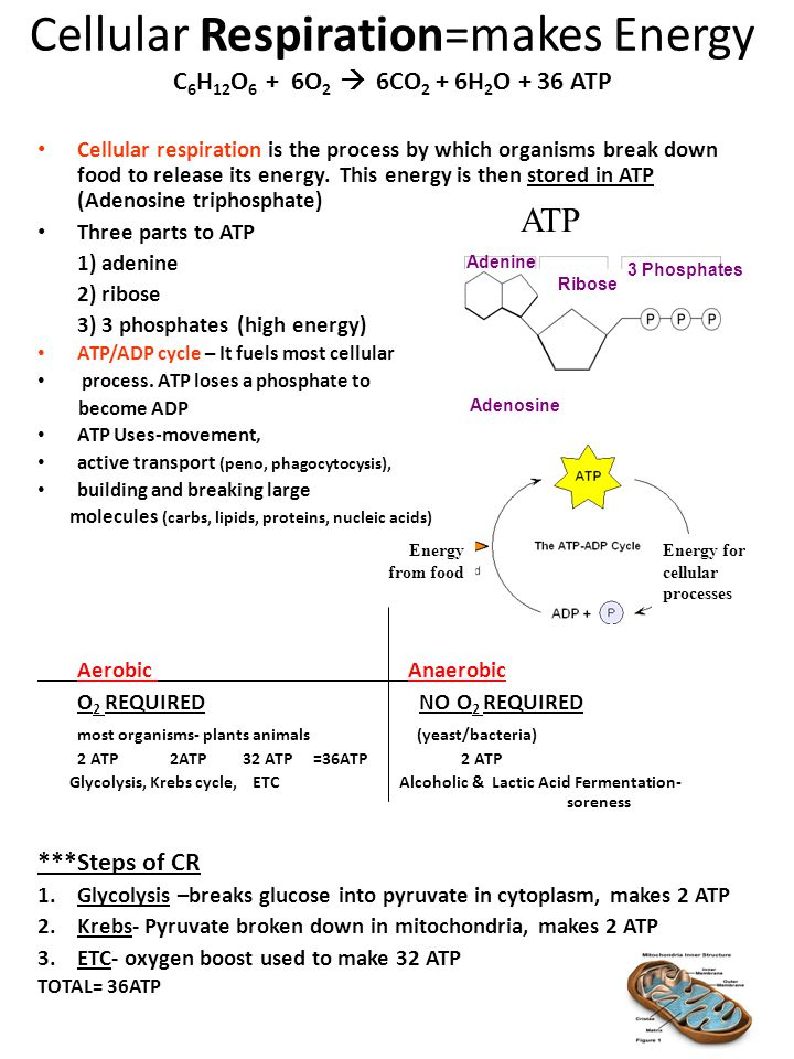 Cellular Respiration=makes Energy C6H12O6 + 6O2  6CO2 + 6H2O + 36 ATP