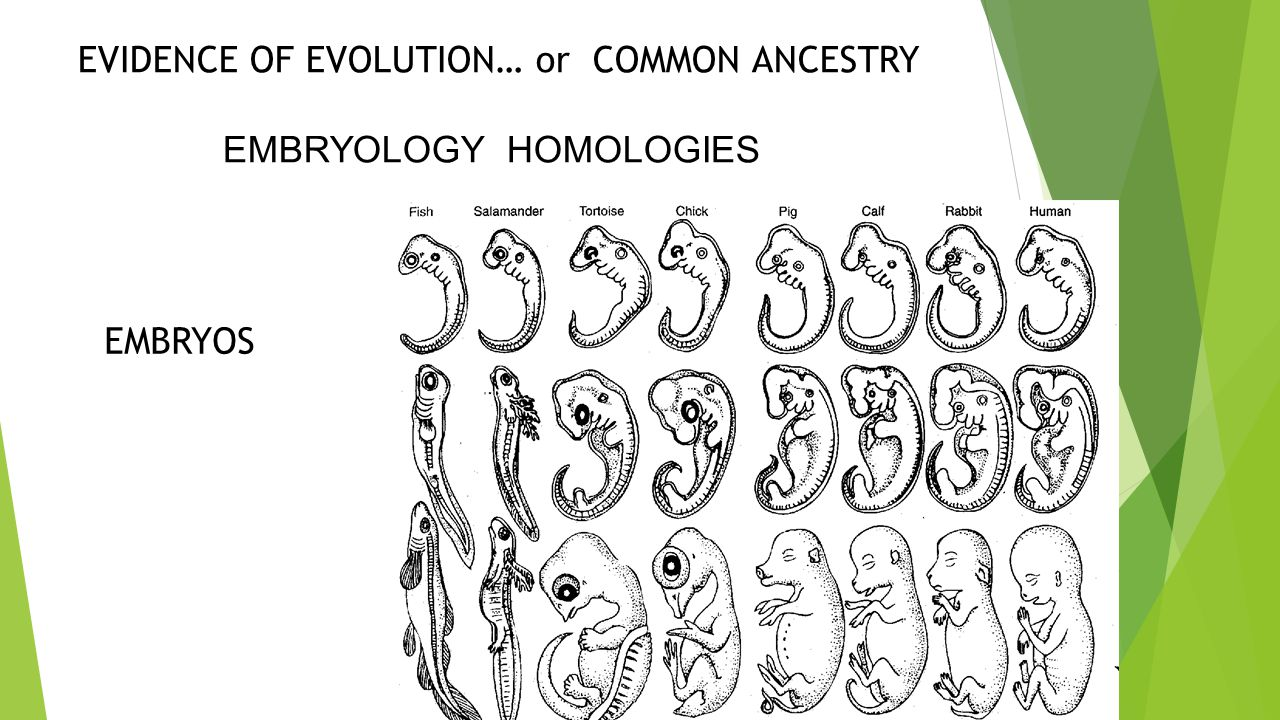 EVIDENCE OF EVOLUTION… or COMMON ANCESTRY