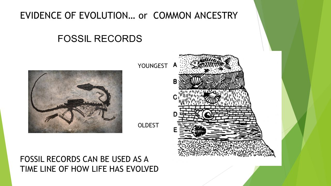 EVIDENCE OF EVOLUTION… or COMMON ANCESTRY FOSSIL RECORDS
