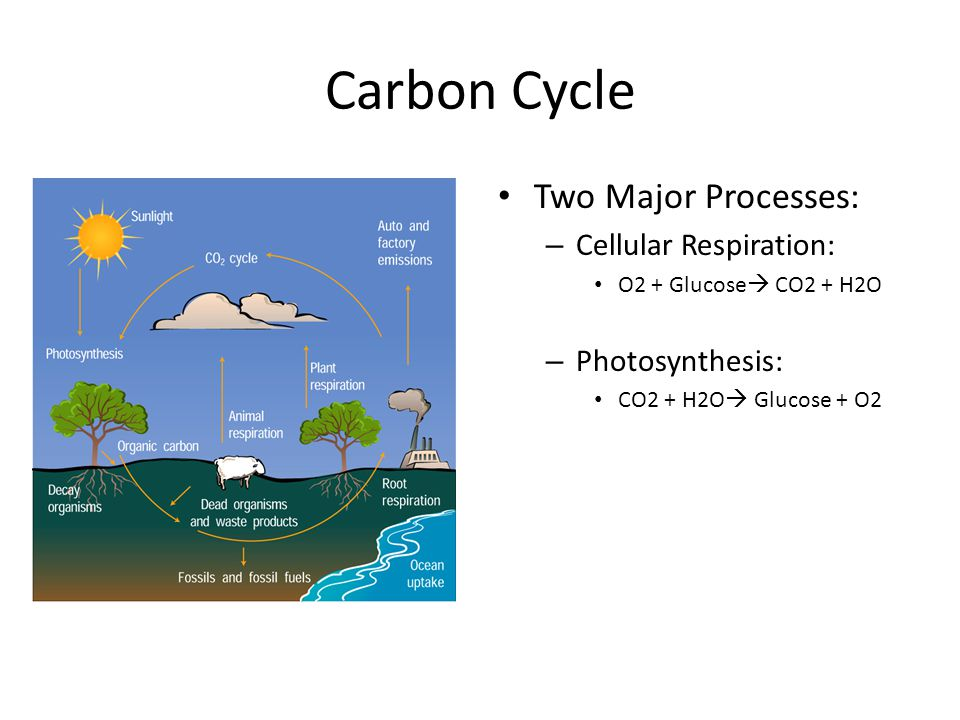 Carbon Cycle Two Major Processes: Cellular Respiration:
