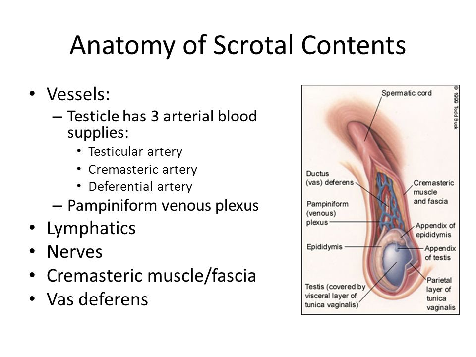Anatomy of Scrotal Contents