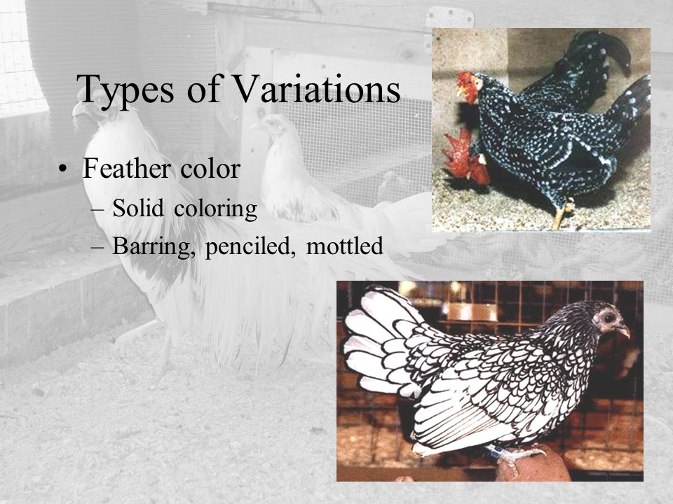 Types of Variations Feather color Solid coloring