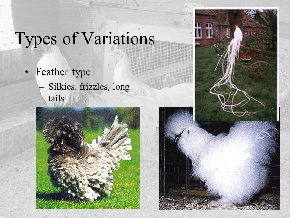 Types of Variations Feather type Silkies, frizzles, long tails