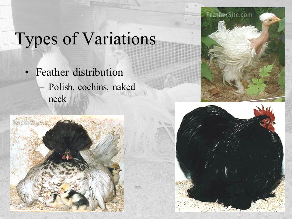 Types of Variations Feather distribution Polish, cochins, naked neck