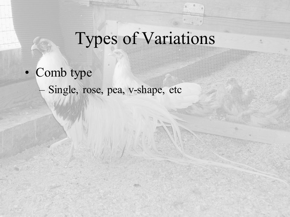 Types of Variations Comb type Single, rose, pea, v-shape, etc