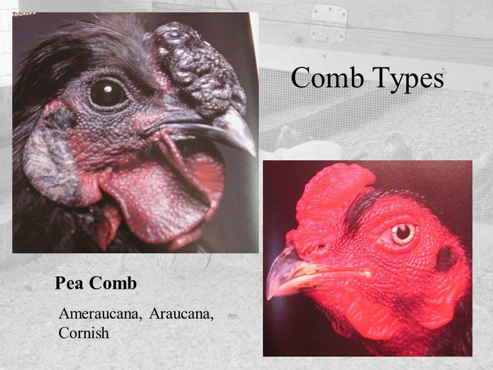 Comb Types Pea Comb Ameraucana, Araucana, Cornish