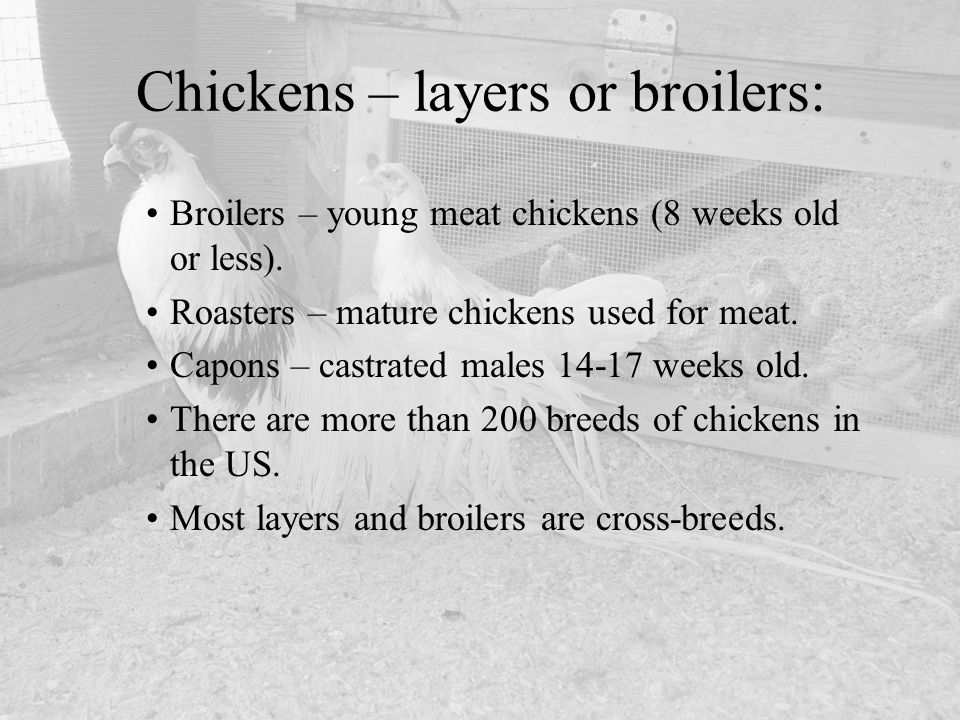 Chickens – layers or broilers: