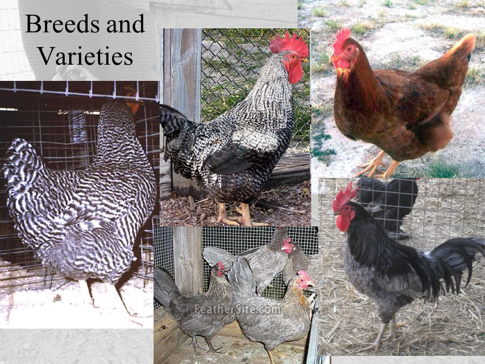 Breeds and Varieties