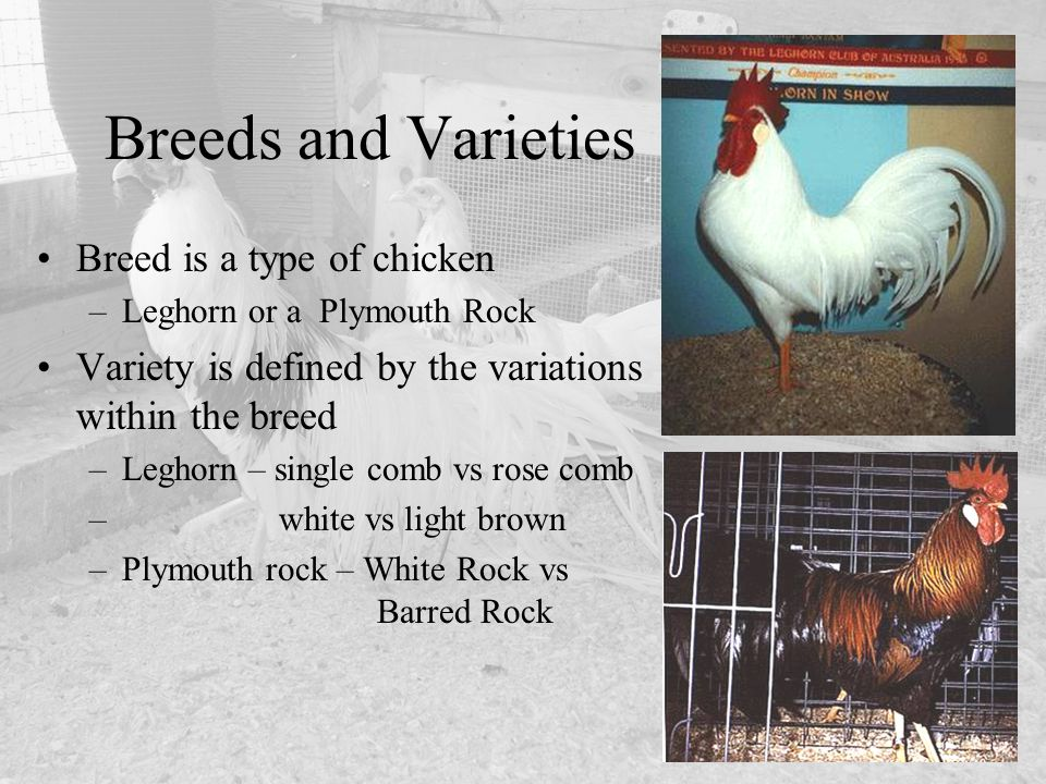 Breeds and Varieties Breed is a type of chicken