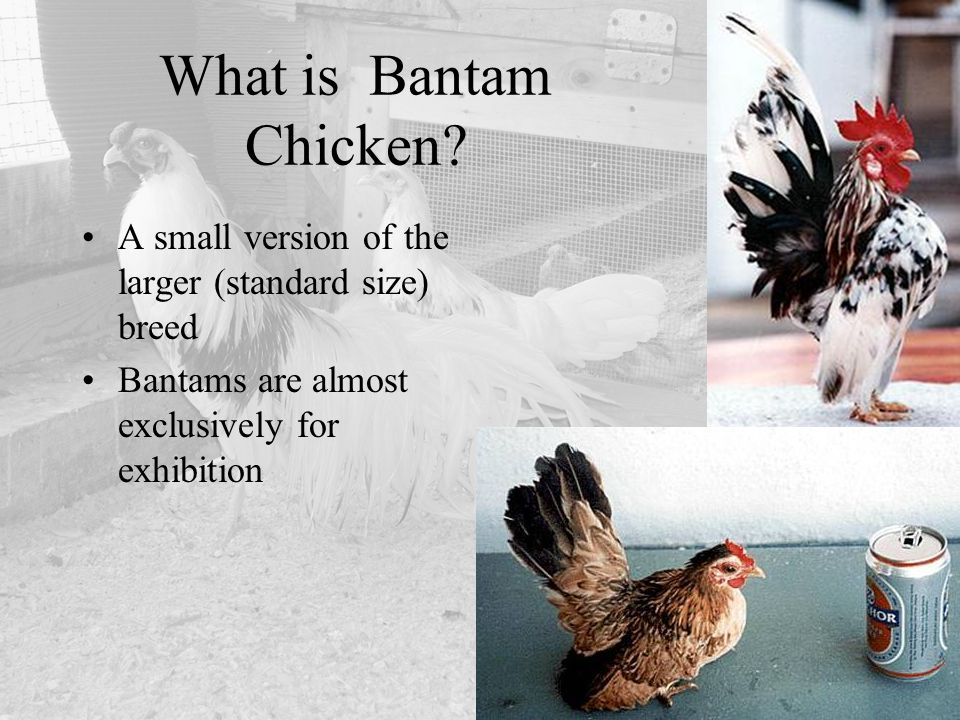 What is Bantam Chicken. A small version of the larger (standard size) breed.