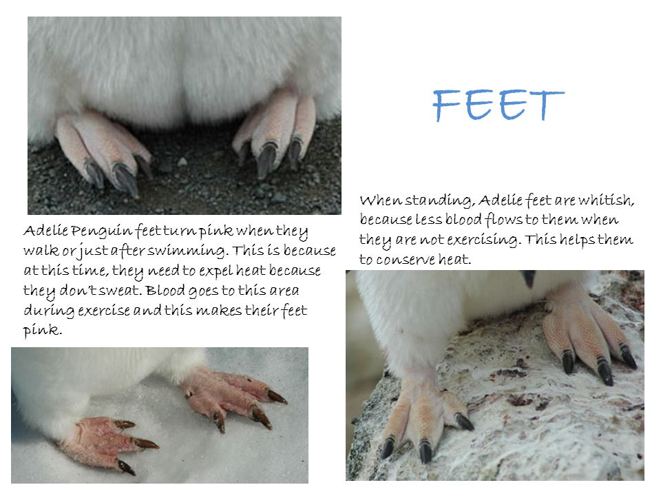 FEET When standing, Adelie feet are whitish, because less blood flows to them when they are not exercising. This helps them to conserve heat.