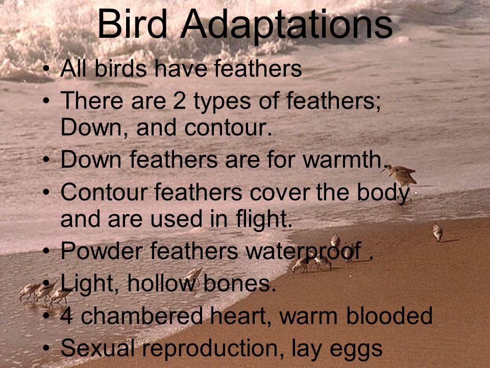 Bird Adaptations All birds have feathers