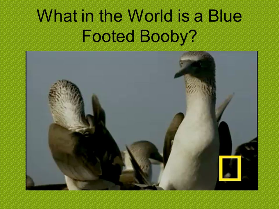 What in the World is a Blue Footed Booby