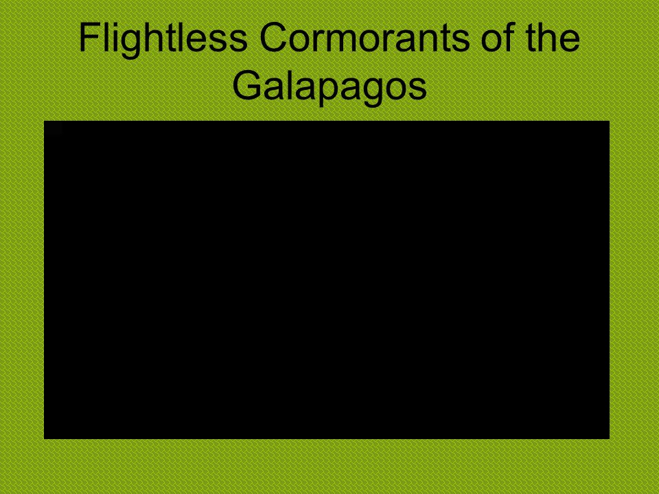 Flightless Cormorants of the Galapagos