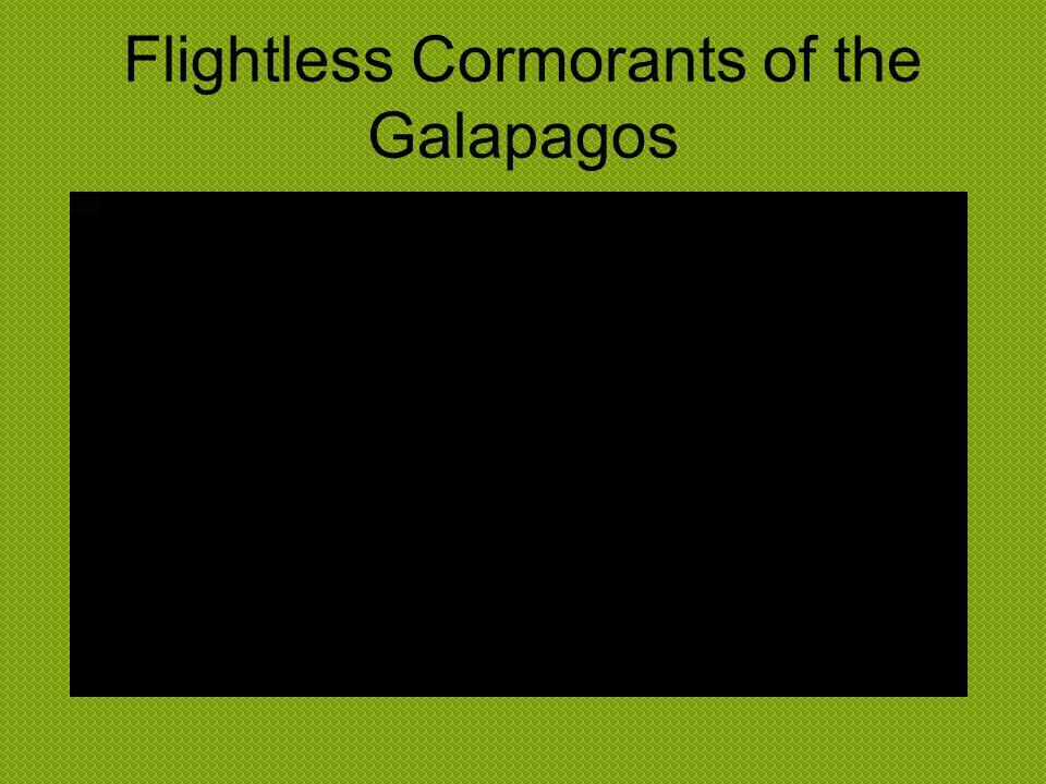 Flightless Cormorants of the Galapagos