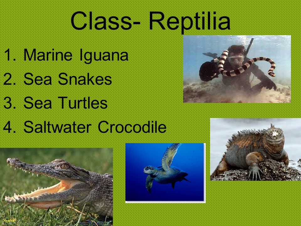 Class- Reptilia Marine Iguana Sea Snakes Sea Turtles