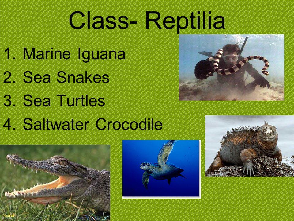 Class- Reptilia Marine Iguana Sea Snakes Sea Turtles