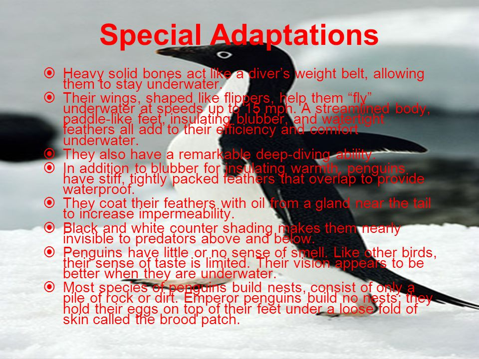 Special Adaptations Heavy solid bones act like a diver's weight belt, allowing them to stay underwater.