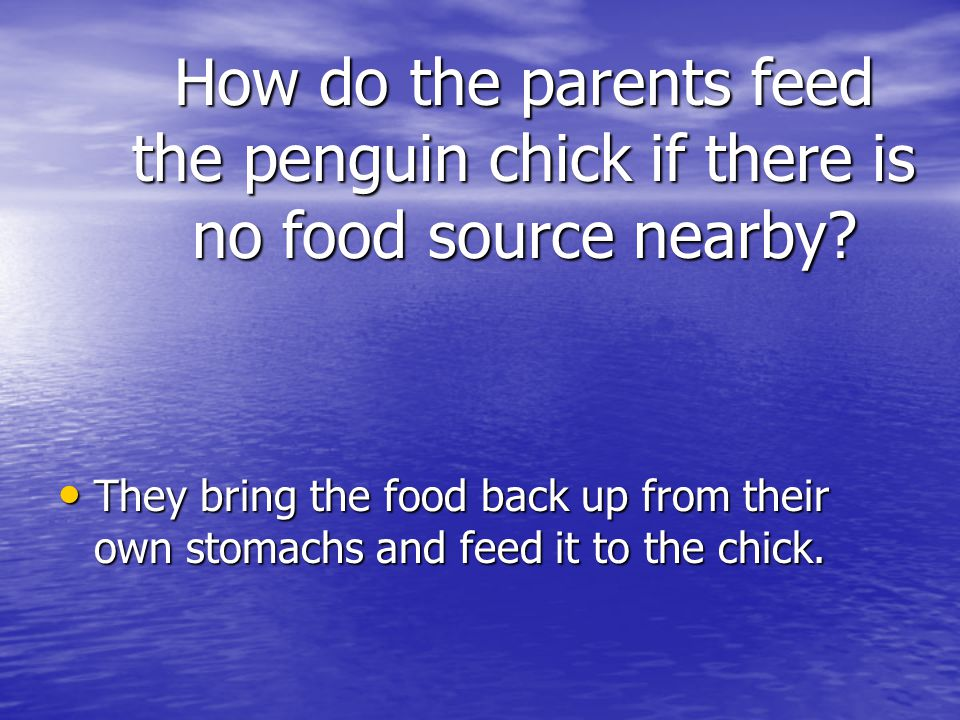 How do the parents feed the penguin chick if there is no food source nearby