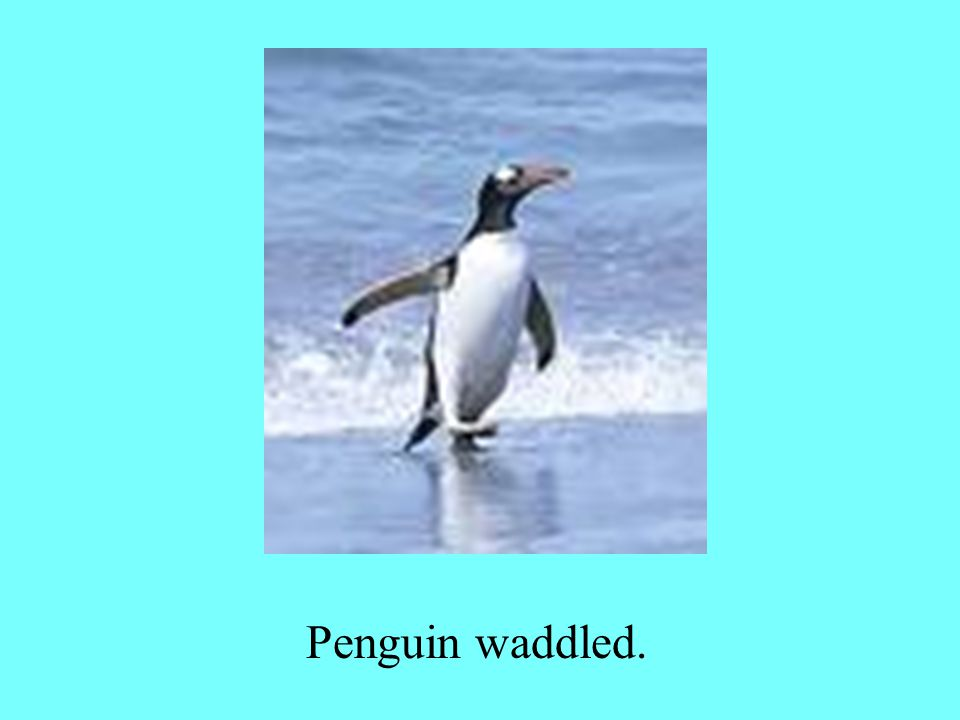 Penguin waddled.