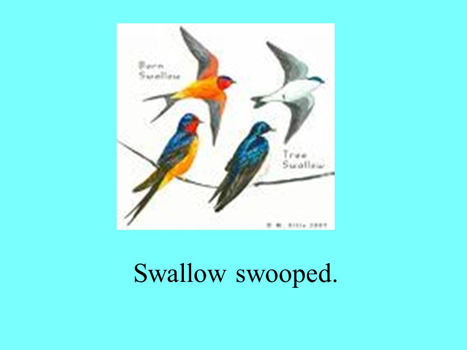 Swallow swooped.