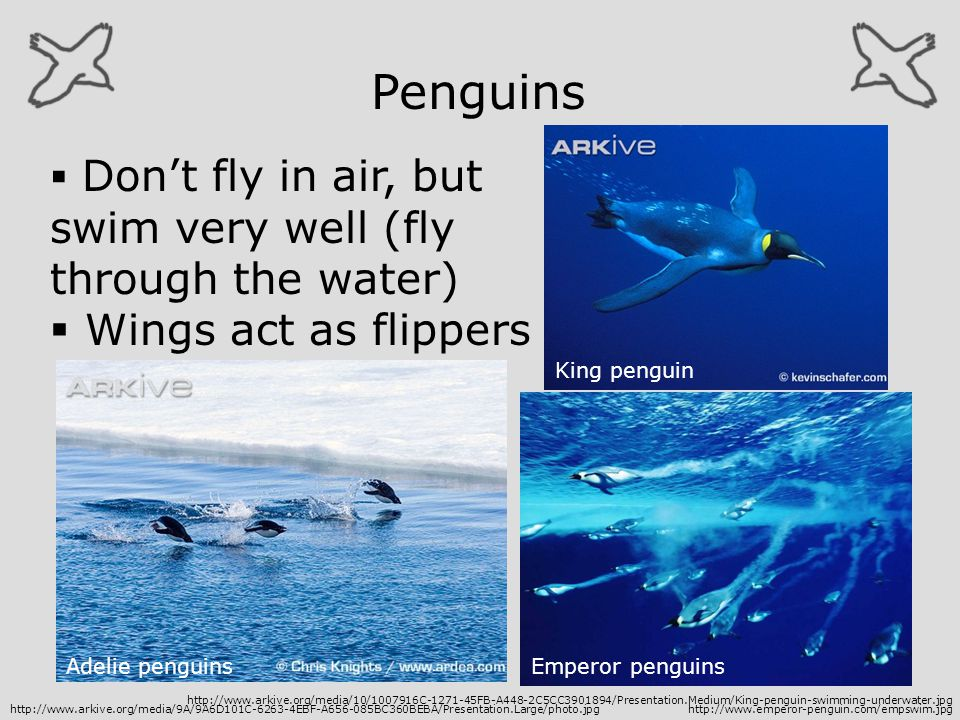 Penguins Wings act as flippers