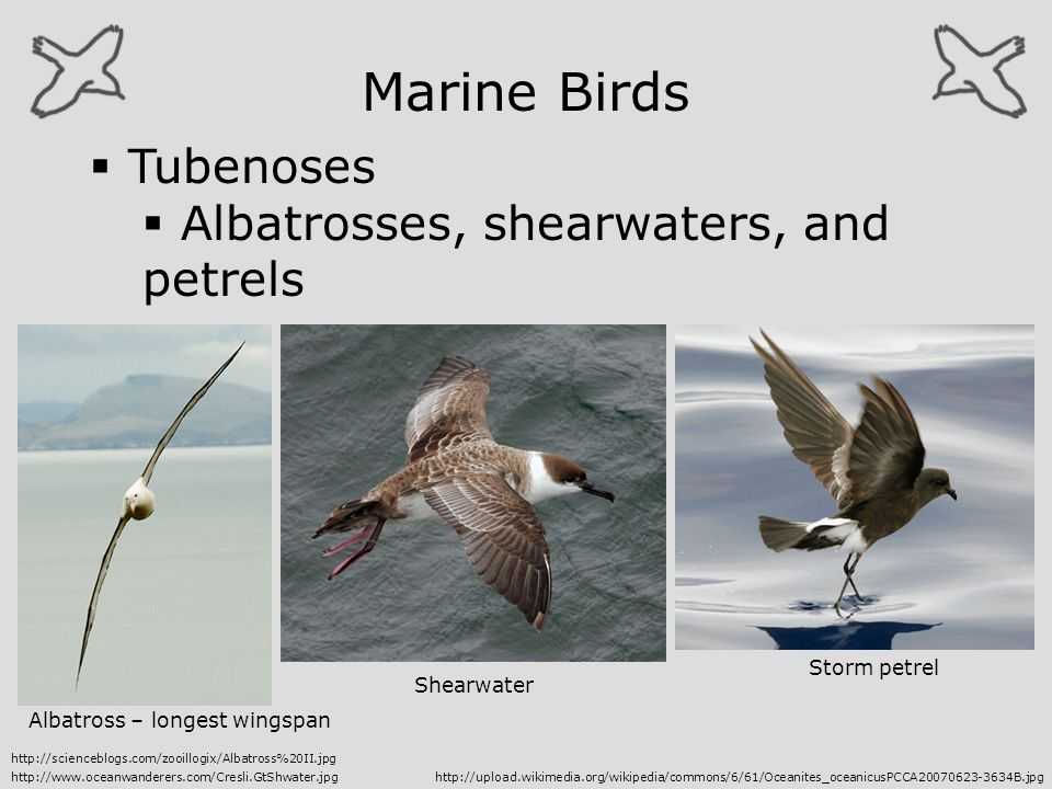 Marine Birds Tubenoses Albatrosses, shearwaters, and petrels