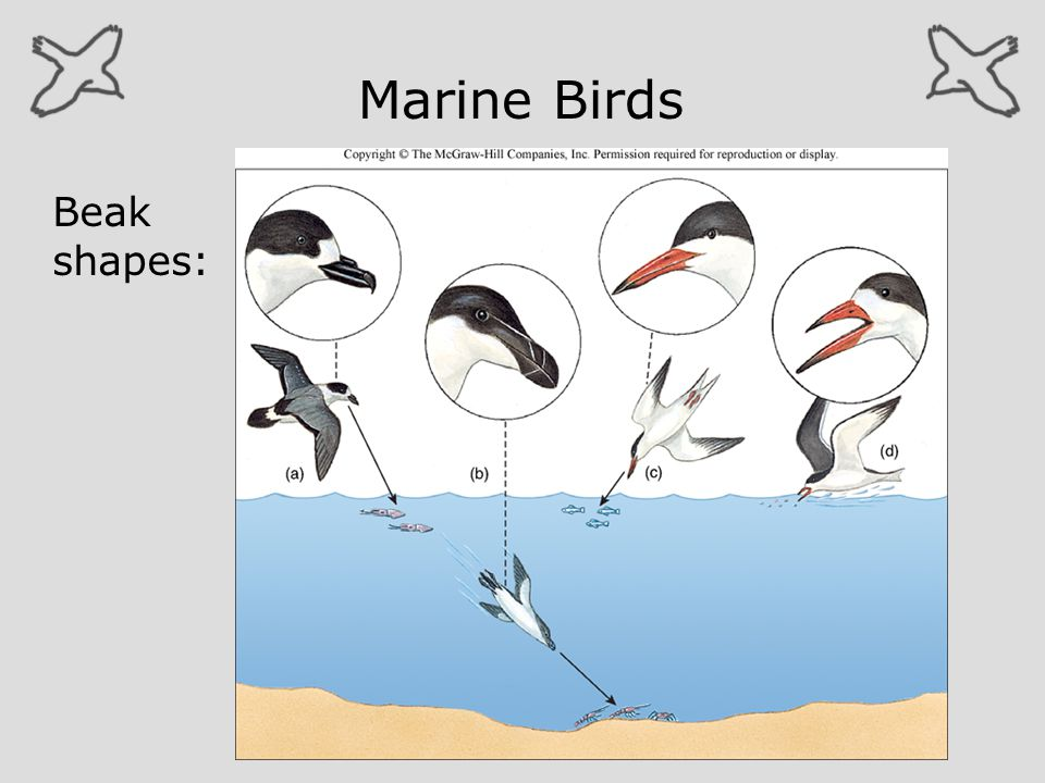 Marine Birds Beak shapes: