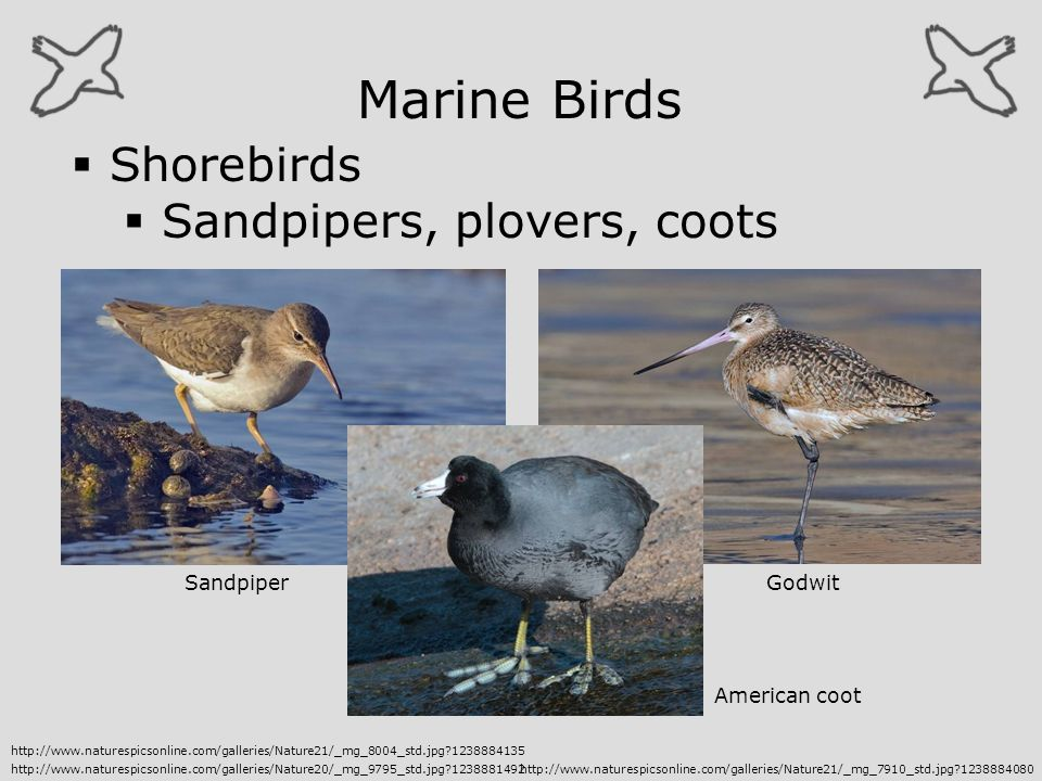 Marine Birds Shorebirds Sandpipers, plovers, coots Sandpiper Godwit
