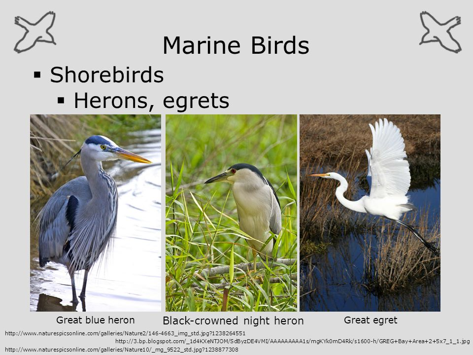 Marine Birds Shorebirds Herons, egrets Black-crowned night heron