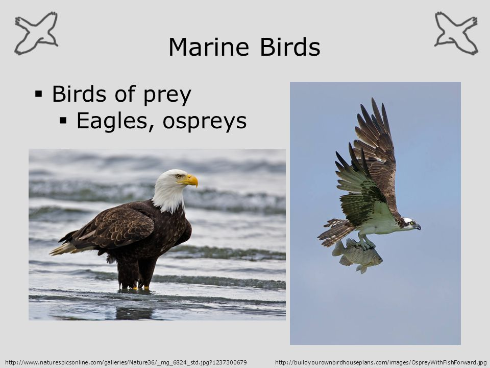 Marine Birds Birds of prey Eagles, ospreys