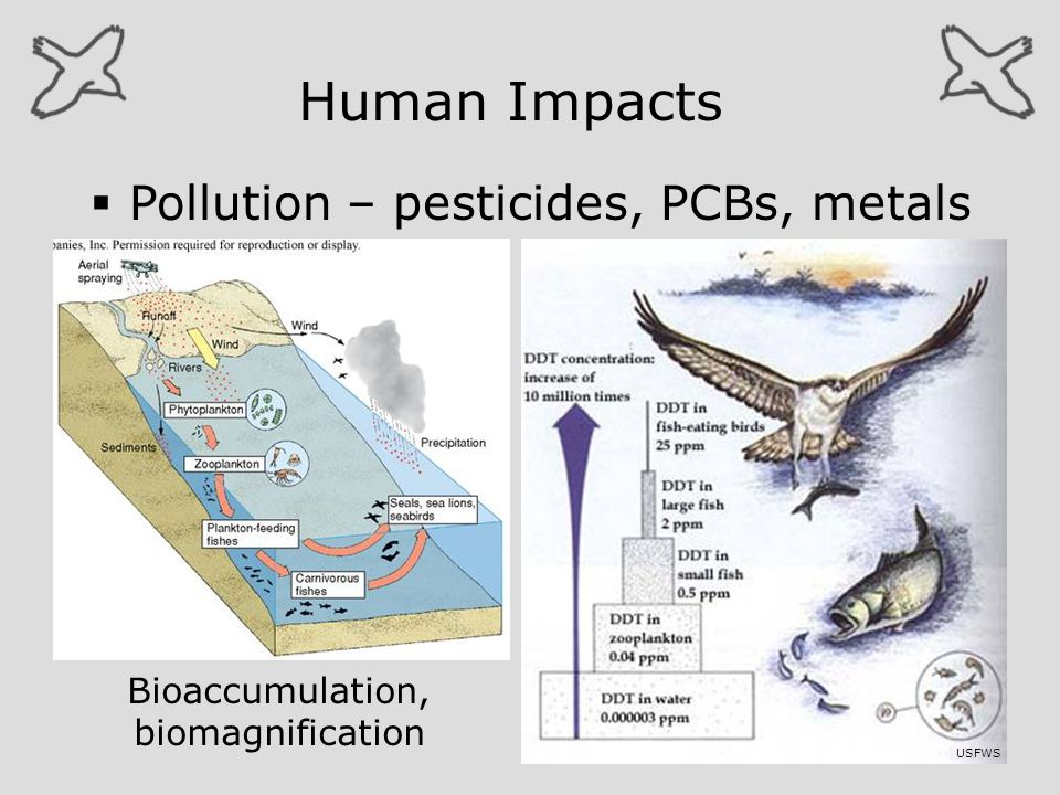 Human Impacts Pollution – pesticides, PCBs, metals Bioaccumulation,