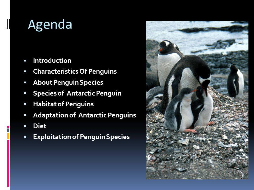 Agenda Introduction Characteristics Of Penguins About Penguin Species