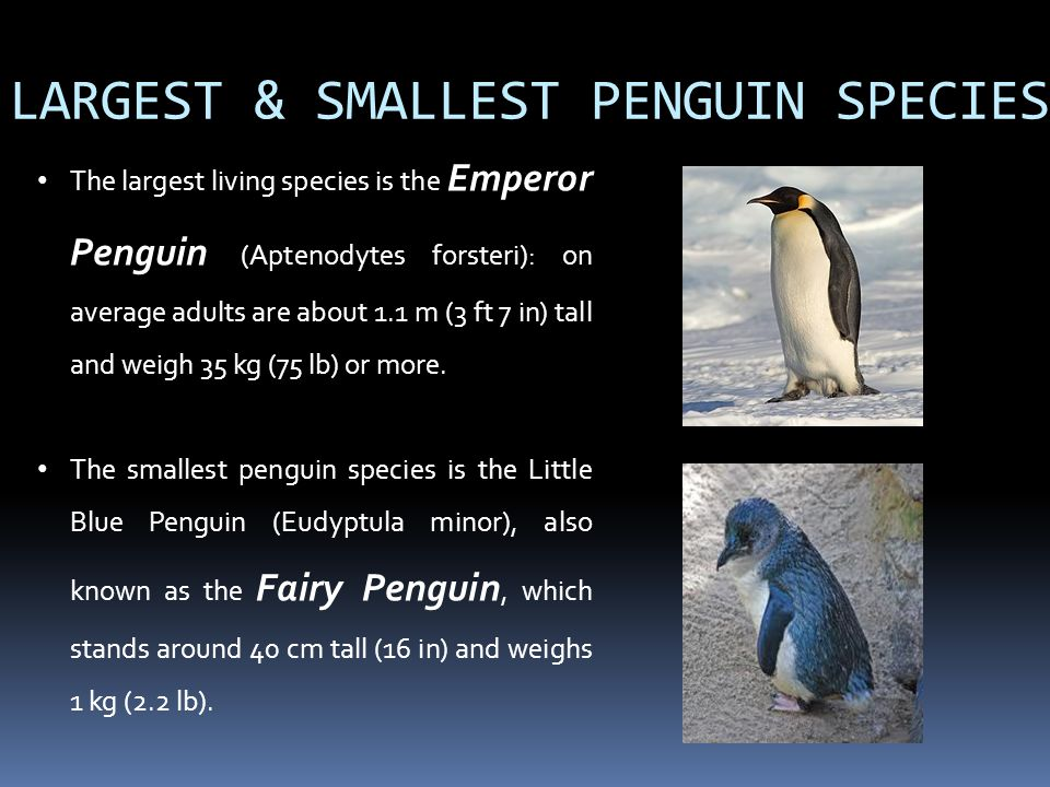 LARGEST & SMALLEST PENGUIN SPECIES