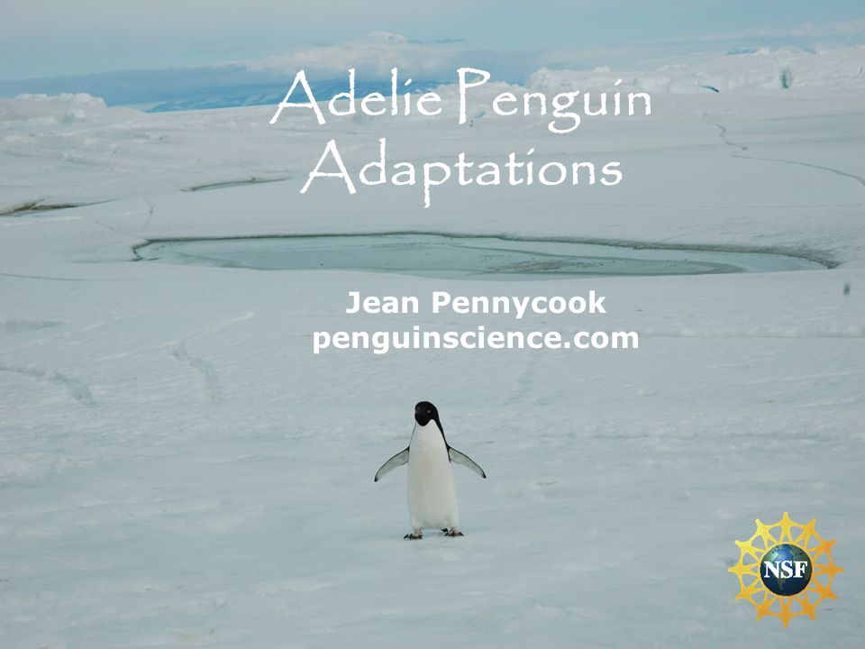 Adelie Penguin Adaptations