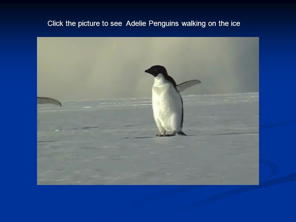 Click the picture to see Adelie Penguins walking on the ice