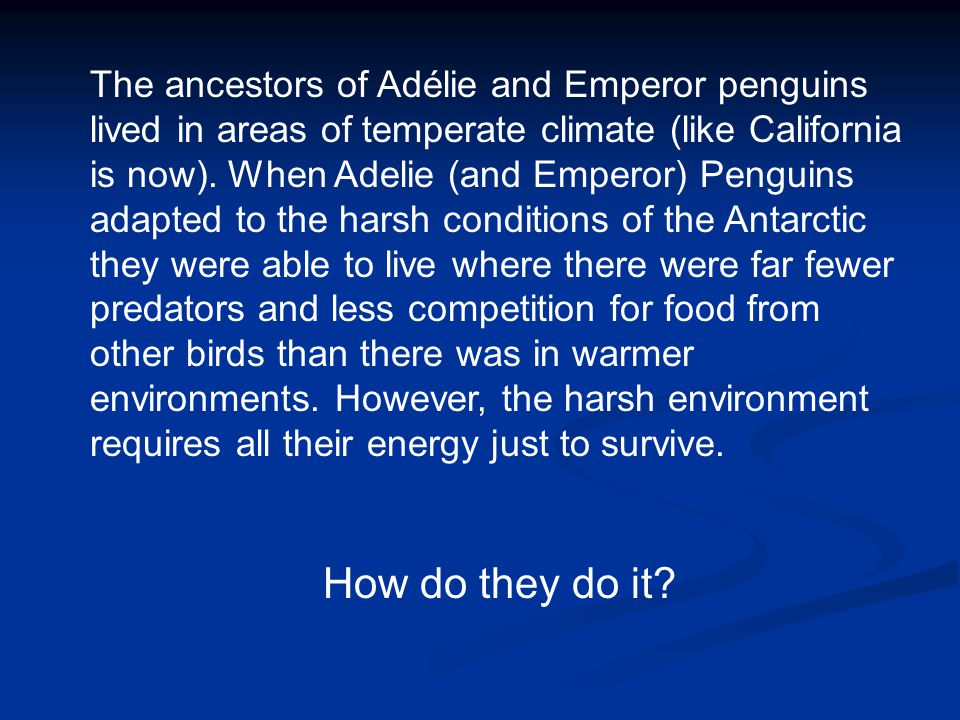 The ancestors of Adélie and Emperor penguins lived in areas of temperate climate (like California is now). When Adelie (and Emperor) Penguins adapted to the harsh conditions of the Antarctic they were able to live where there were far fewer predators and less competition for food from other birds than there was in warmer environments. However, the harsh environment requires all their energy just to survive.