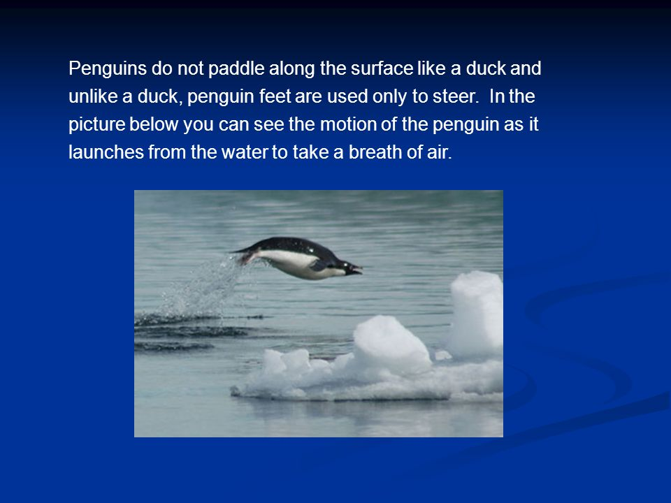 Penguins do not paddle along the surface like a duck and unlike a duck, penguin feet are used only to steer. In the picture below you can see the motion of the penguin as it launches from the water to take a breath of air.