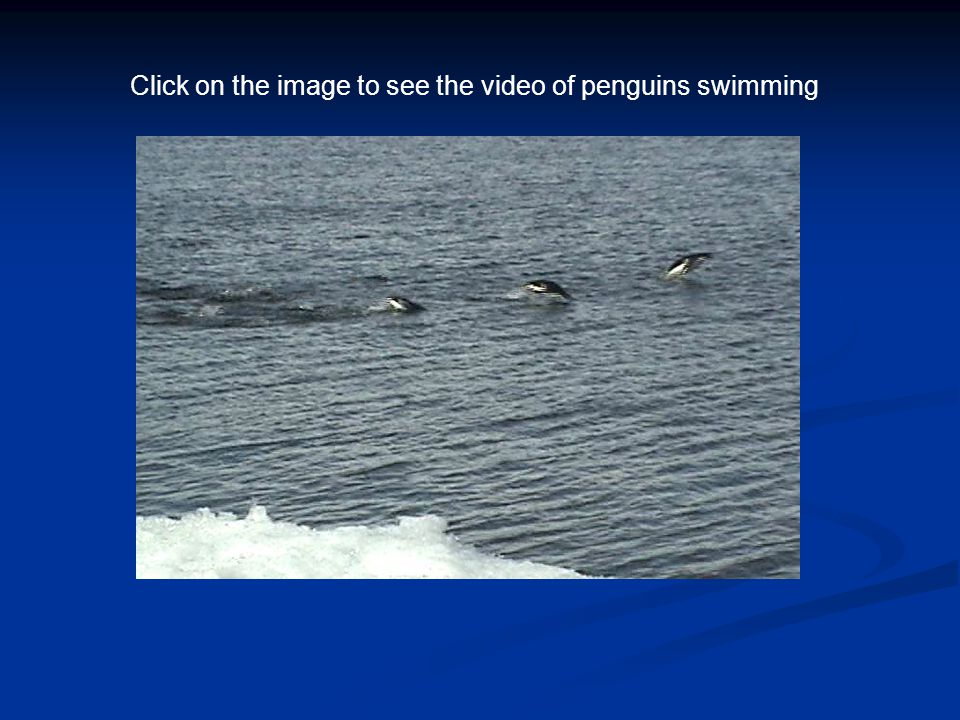 Click on the image to see the video of penguins swimming