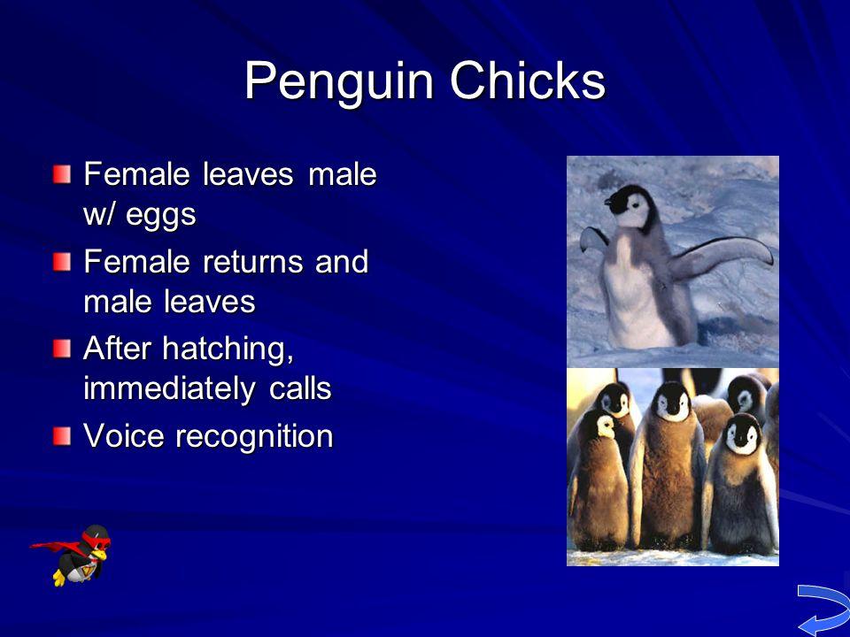 Penguin Chicks Female leaves male w/ eggs