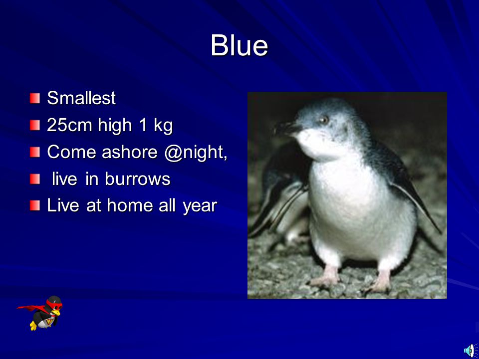 Blue Smallest 25cm high 1 kg Come ashore @night, live in burrows
