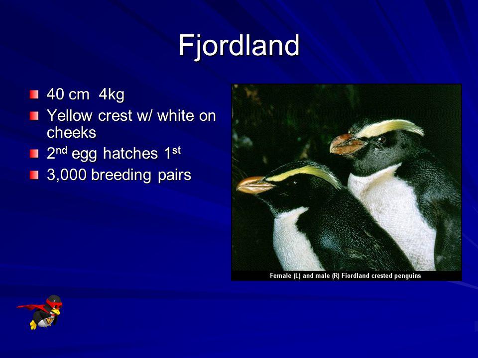 Fjordland 40 cm 4kg Yellow crest w/ white on cheeks