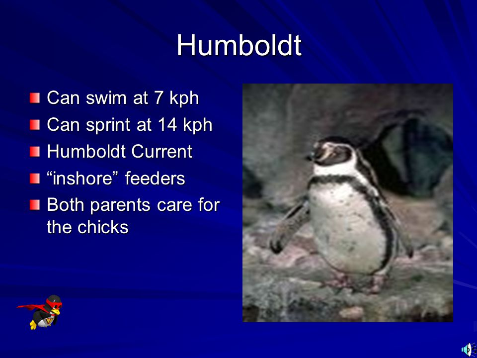 Humboldt Can swim at 7 kph Can sprint at 14 kph Humboldt Current
