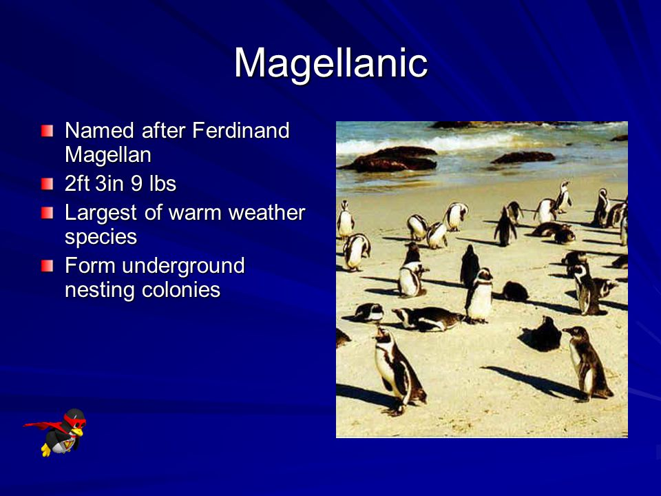 Magellanic Named after Ferdinand Magellan 2ft 3in 9 lbs