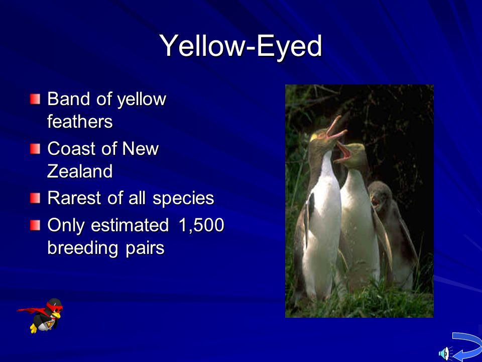 Yellow-Eyed Band of yellow feathers Coast of New Zealand