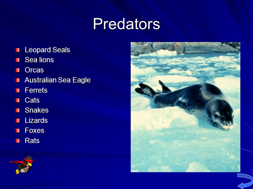Predators Leopard Seals Sea lions Orcas Australian Sea Eagle Ferrets