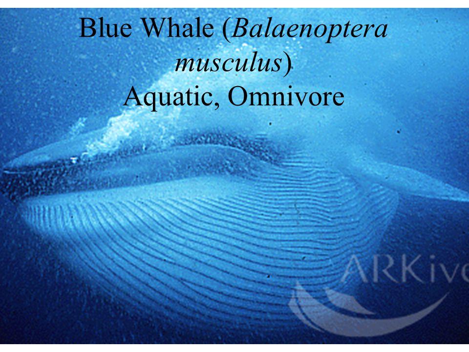 Blue Whale (Balaenoptera musculus) Aquatic, Omnivore