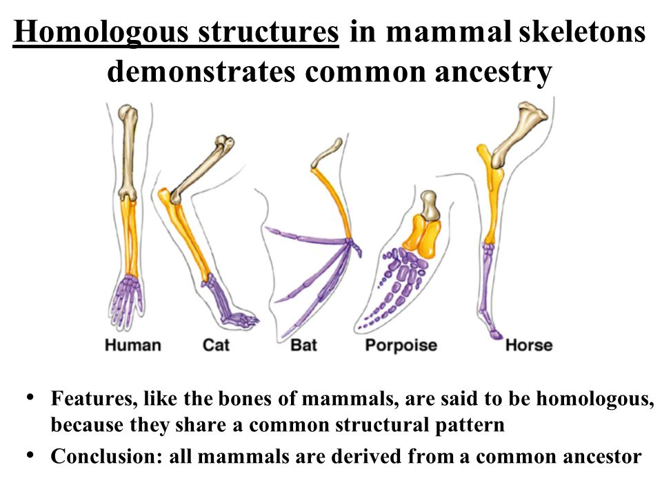 Homologous structures in mammal skeletons demonstrates common ancestry